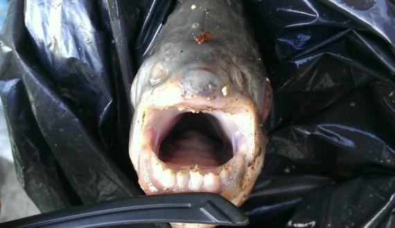 Pacu testicle biting fish caught near paris for Where are the fish biting near me