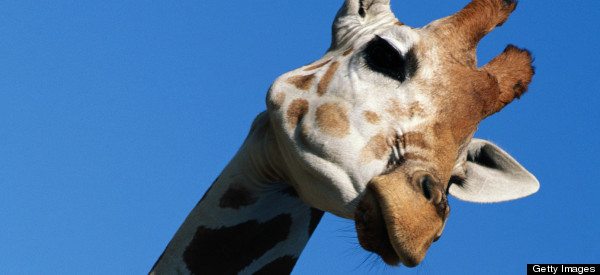 Man Who Smuggled Giraffes On Airplane Wanted By International Police