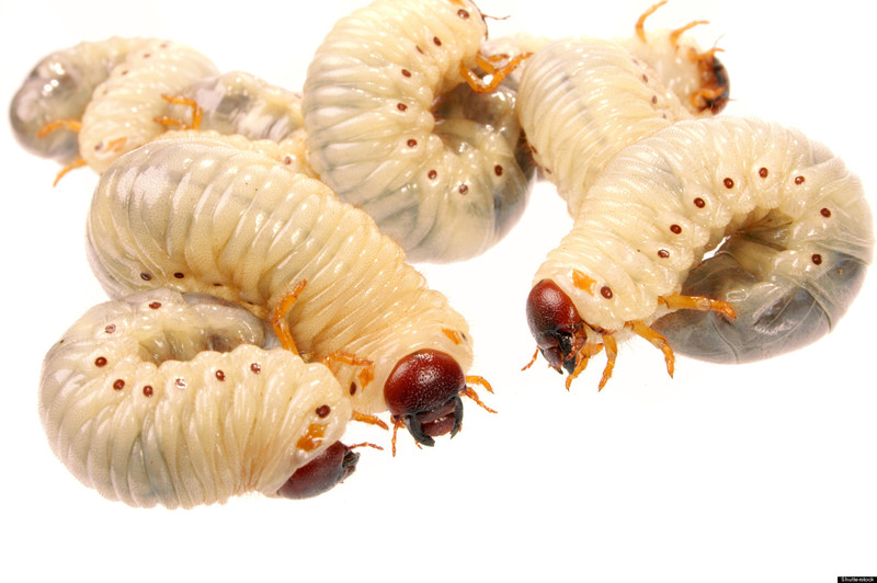 5 Insects You Could Eat Without Even Noticing In Nigeria