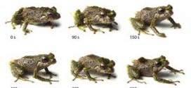 Scientists Discover Shape-shifting Frog That Changes Its Skin Texture In A Matter Of Minutes