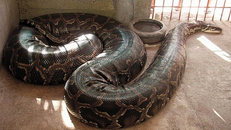 The emergence of the python was caused by the heavy rain over the ...