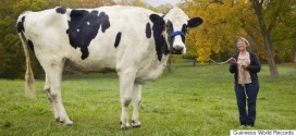 Here's Blosom, The Tallest Cow To Ever Live [PHOTO]
