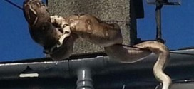 Wow! See the size of a Python residents saw on a phone wire above them in a Welsh village [PHOTOS]