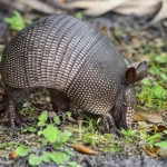 Texas-mans-bullet-bounced-off-armadillo-and-hit-him-in-the-head