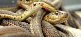 Flood wash snakes into homes in Plateau