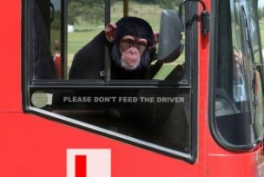 Joyriding-monkey-steals-bus-while-driver-sleeps-in-India