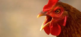 static_angry_chicken_by_fractalimages