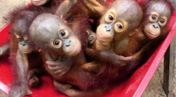 Orphaned-orangutan-babies-learn-survival-skills-at-Forest-School