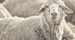 Welsh-sheep-go-on-rampage-after-eating-cannabis-plants