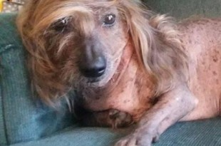Odd-looking-canines-gather-for-Worlds-Ugliest-Dog-Contest