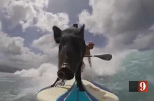 Third-generation-surfing-pig-makes-debut-in-Hawaii
