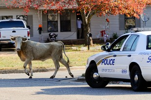 Daily Photo by Gary Cosby Jr.  Decatur Police help wrangle a cow that got loose from Valley Stockyard and roamed southwest neighborhoods Wednesday morning. The cow casts an eye on a police car shadowing her as she moves into the open on Hillside Rd. SW.