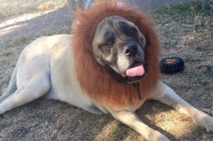 dog disguised as lion