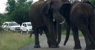elephants-block-traffic-through-game-reserve-with-street-brawl
