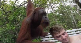 orangutan-climbs-onto-tourist-boat-in-indonesia-slaps-selfie-taker-in-the-face