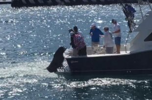 sea-lion-hitches-rides-on-backs-of-boats-to-beg-for-fish-in-mexico