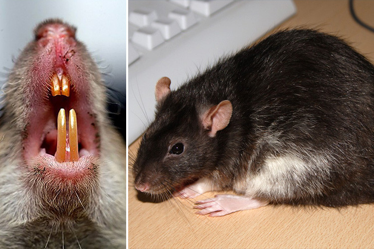 What Is Rat Bite Fever? - Worms & Germs Blog