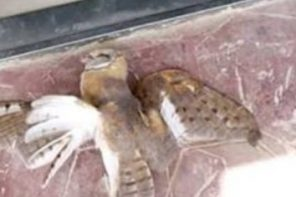 Owl Bird Mysteriously Flies Into Locked Church After Night Vigil In Sapele Delta State (Photos)