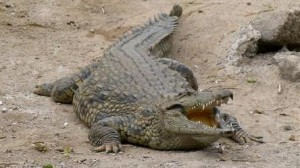 Crocodile Snatches 9-Year-Old Boy Swimming In River
