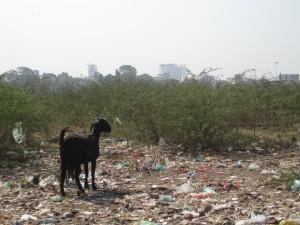 Ashram-goat-and-trash