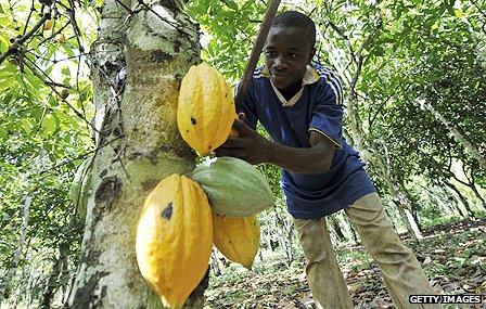 ivory_cocoa_g