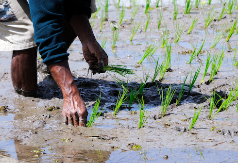 Planting Rice Seedlings