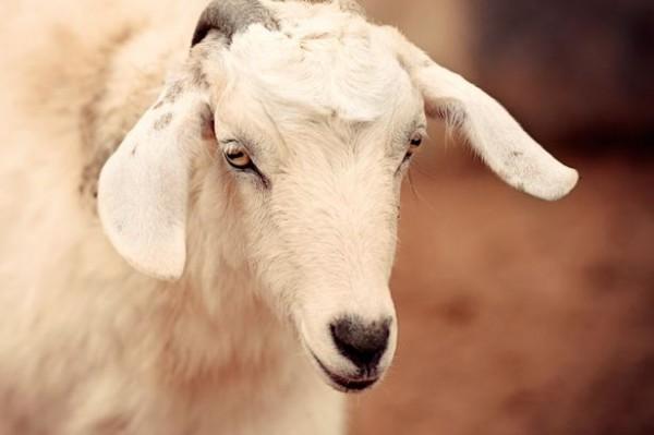 Abuse-Saha-was-locked-away-with-goats-859763