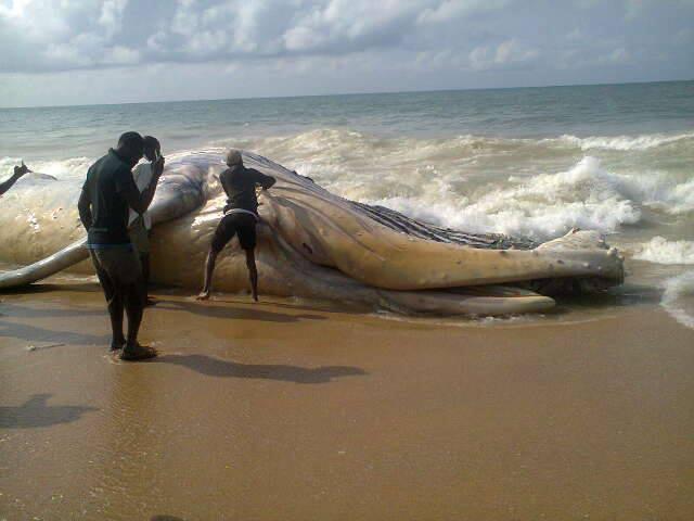 Unbelievable Whale Found On Alpha Beach In Lagos Photo
