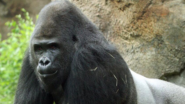 gorilla - N6.8 Kano Zoo Money: We will not hesitate to arrest a gorilla or anyone involved