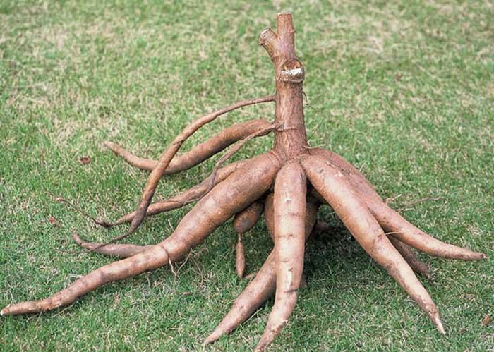 cassava-ethanol.14190528_std