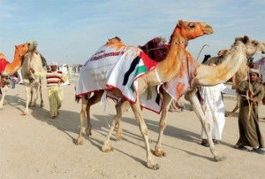 camel-beauty-pageant-550x372
