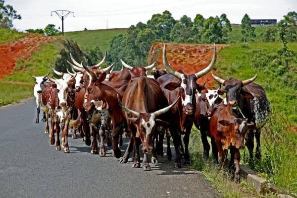 cattle-600x399
