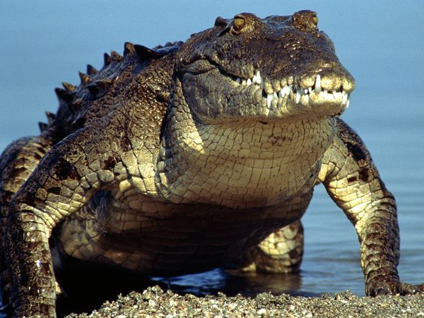 american-crocodile_219_600x450
