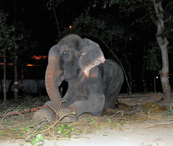 crying-elephant-raju-rescued-chained-50-years_01