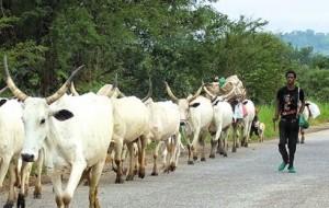 herdsmen cowsss