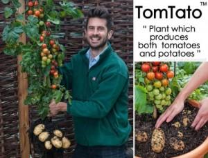 tomtato-plant3-550x420