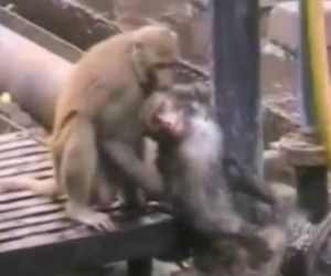 Monkey-revives-electrocuted-friend-at-train-station