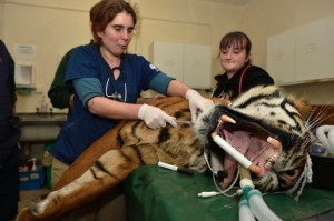 Tiger-at-the-dentists
