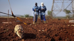 140926094320-apopo-mine-detection-rat-mozambique-horizontal-gallery