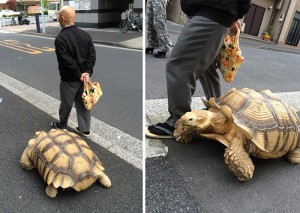 elderly-man-walking-pet-african-spurred-tortoise-sulcata-tokyo-japan-coverimage
