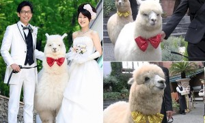 Pic shows: The advertise on hotel Epinard Nasu's website.nnIt is a weird wedding craze that could only happen in Japan ¿ young couples are inviting Alpaca¿s as witnesses to their nuptials.nnThe big furry white animals can normally be found in zoos but a hotel is offering the services of a well behaved one ¿ along  with a trainer -  to walk down the aisle.nnIt probably would not be every bride¿s cup of tea in Britain but in the Far East it is taking off as a popular wedding addition.nnBizarrely, the  placid alpaca does not even hold any special place in Japanese society, it is not known as a symbol of peace and security in Japan¿s native Shinto or Buddhist religions.nnThe reason for its popularity is simply that it looks cute and children think they are adorable.nnThe animal is certainly proving a hit at the Hotel Epinard Nasu in the  Tochigi Prefecture.nnLuckily, the hotel has an unlimited supply of the creatures as it has a zoo next door and a trainer takes control of the animal for the walk down the aisle and during the wedding pictures.nnThe inclusion of the fluffy animal, which is washed and groomed before the nuptials, is being seen as a break away from the more formal, ritual heavy Shinto weddings.nn(ends)