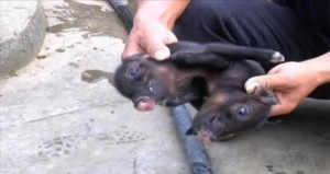 Conjoined-piglets-born-on-Chinese-farm