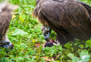 Israeli-vulture-thought-to-be-a-spy-arrested-in-Lebanon