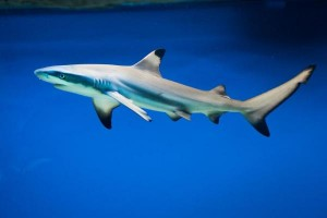 Live-blacktip-shark-found-in-Florida-swimming-pool
