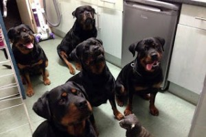 PAY-Rottweilers