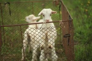 Virginia-farm-seeks-volunteers-to-cuddle-baby-goats