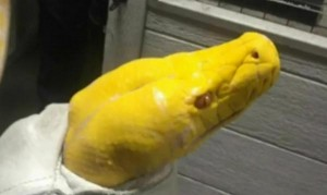 Angry-California-man-throws-13-foot-python-in-Sushi-restaurant