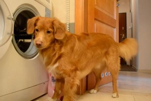 Dog-helps-owner-with-the-laundry-in-Norway