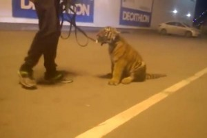 Drunken-circus-worker-takes-tiger-cub-for-a-walk-at-shopping-mall