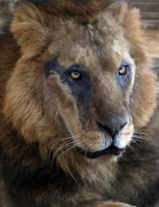 Lion-escapes-park-mauls-man-in-Nairobi